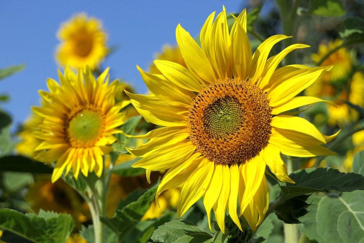 2020 0807 RWatkins sunflower