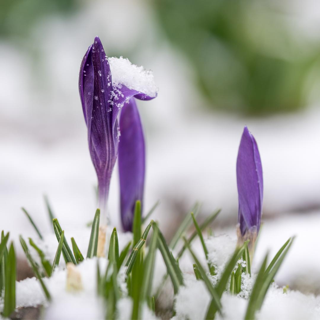 purple crocus buds in snowy garden