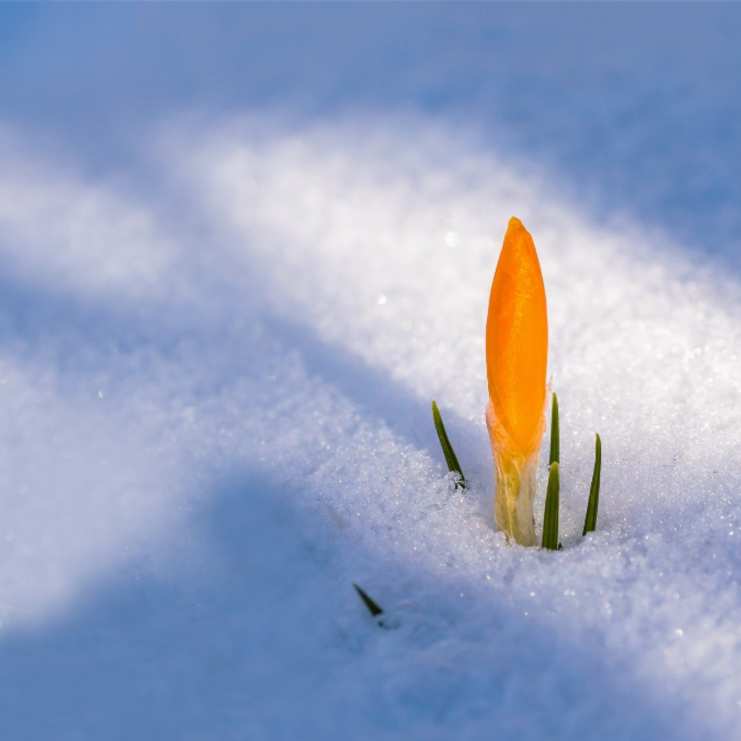 Yellow crocus bud poking of of fresh snow