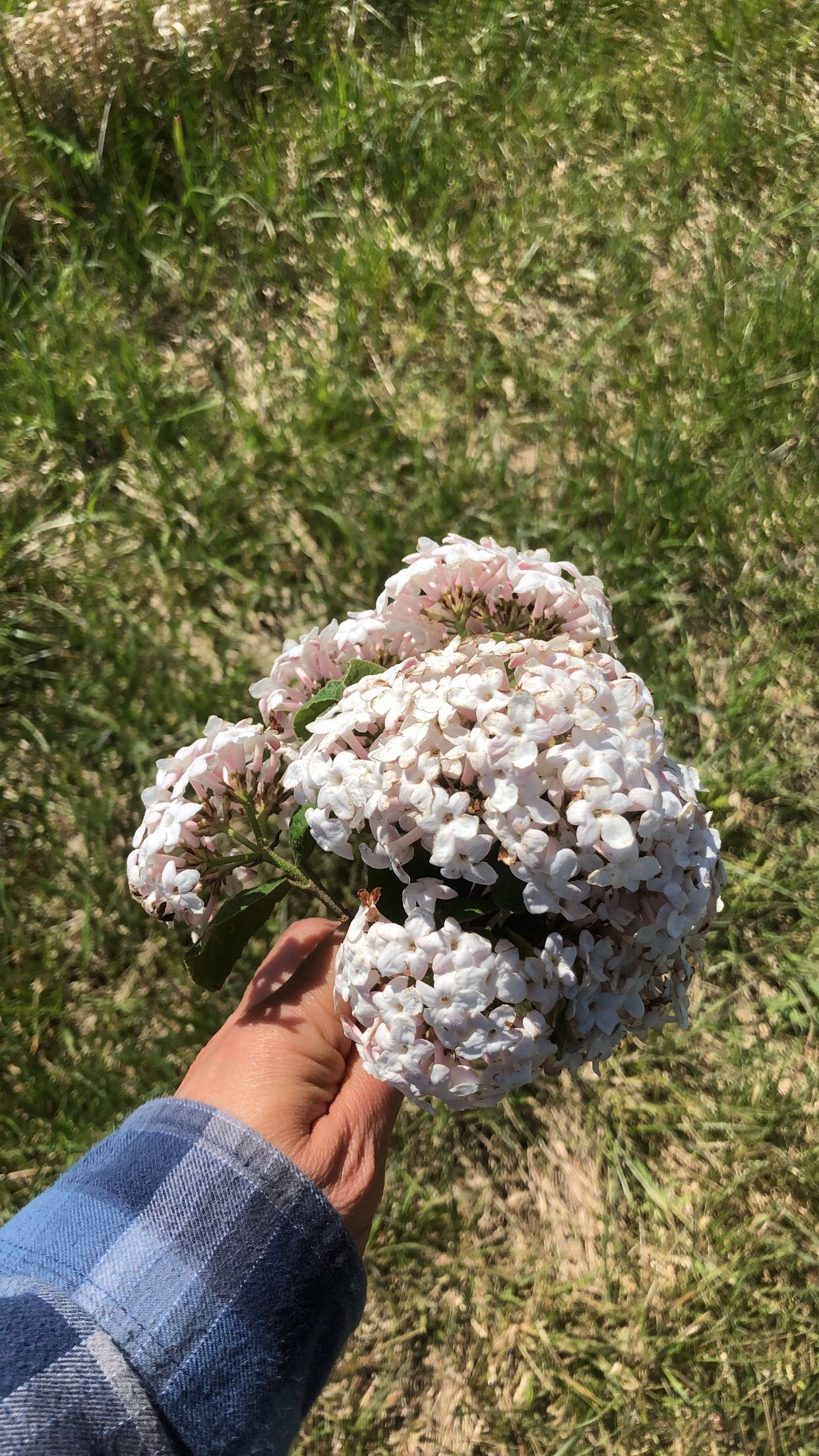 bunch of white lilacs