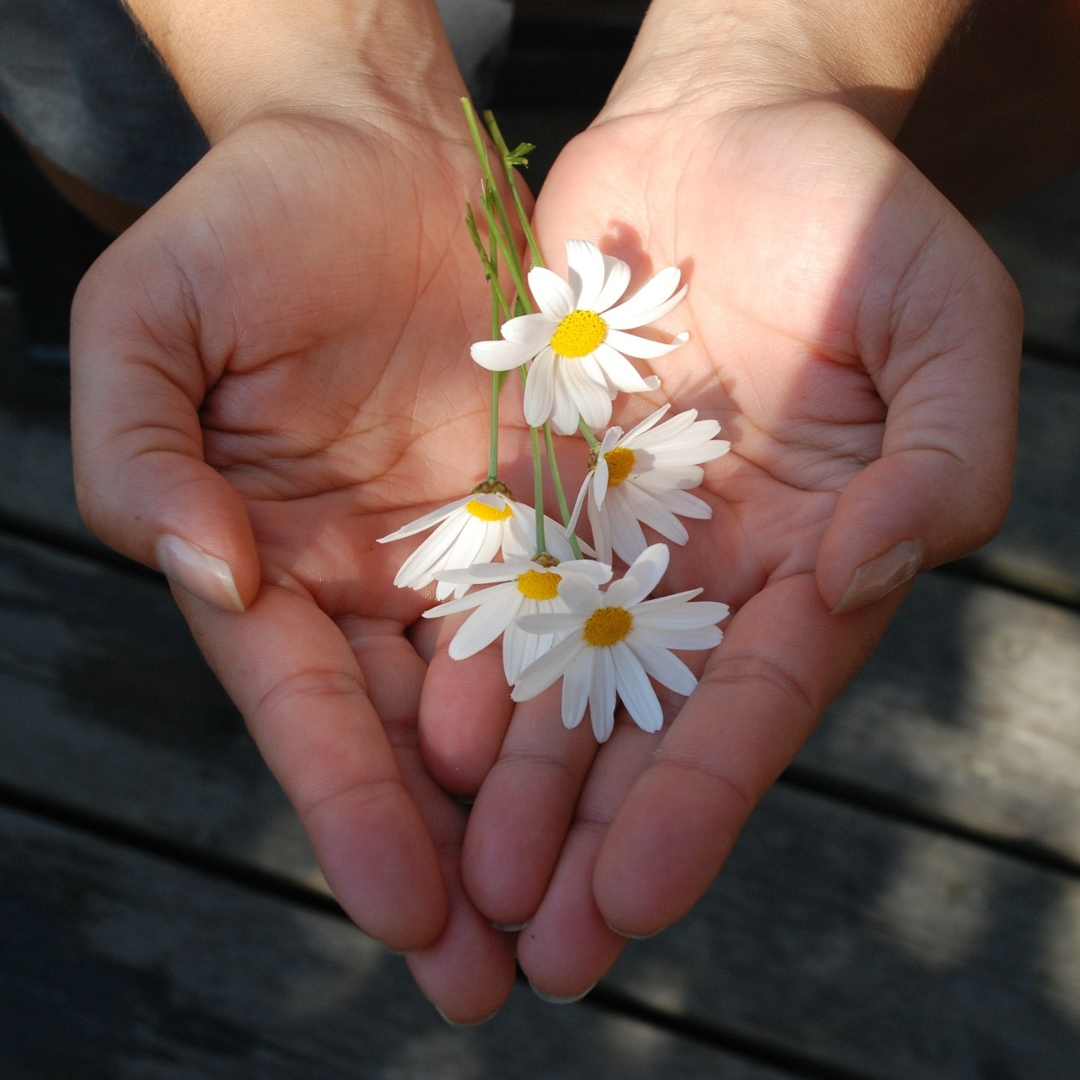 two hands holding small daisies