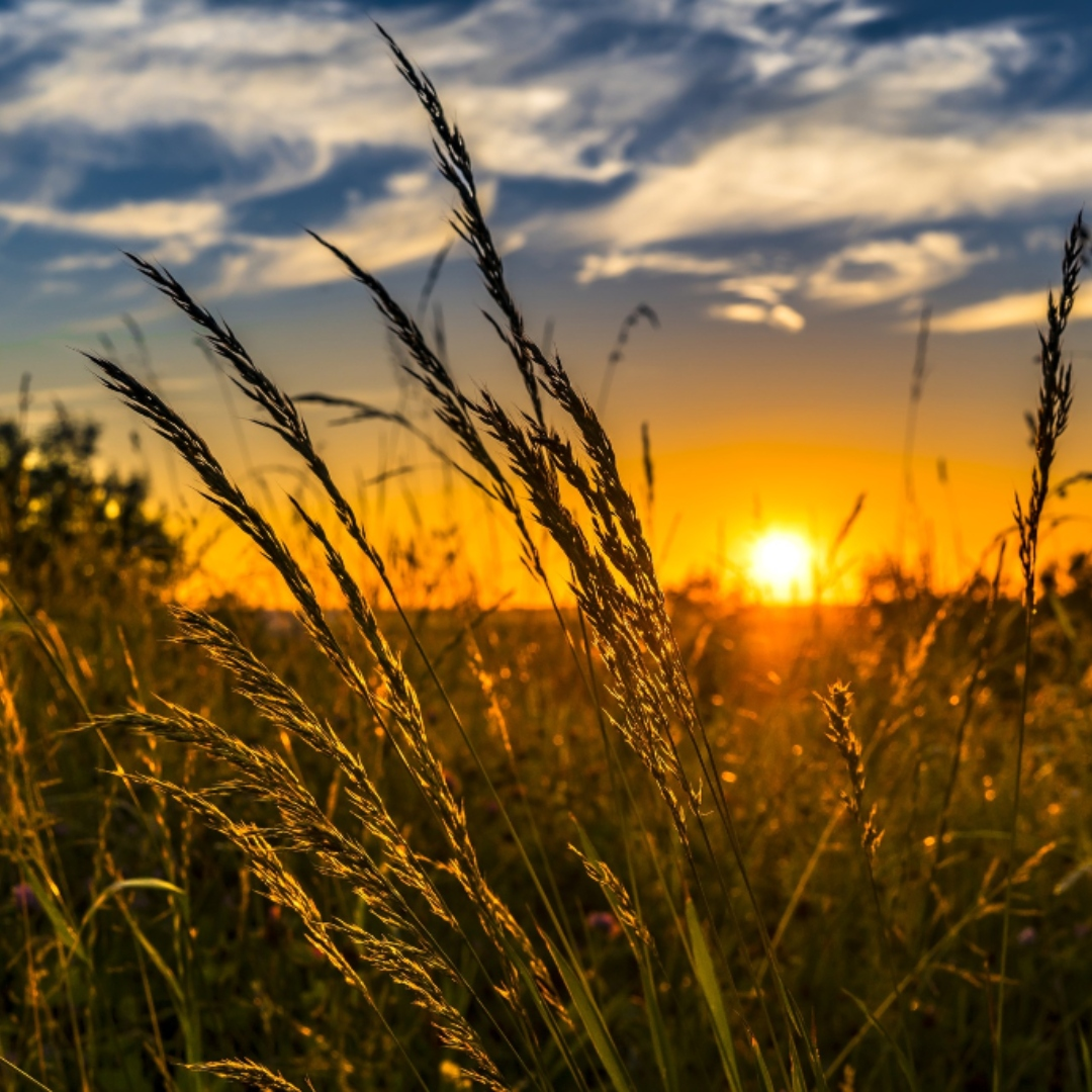 sunset in back of a wheat field