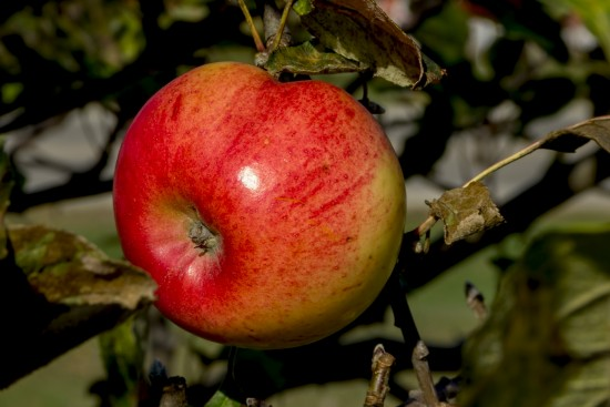 Door County Apple by Dave Bolenbaugh (2013) via Flickr. All rights reserved.
