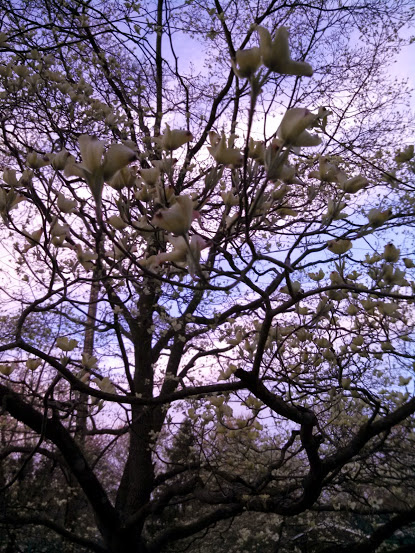 My dogwood tree blossoming
