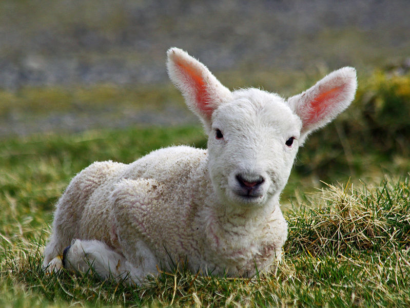799px-Cheviot_lamb_on_the_Isle_of_Lewis