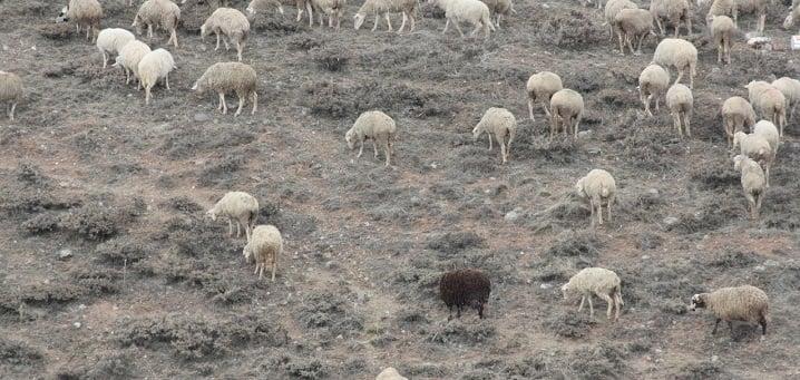 The Black Sheep by mwingine (2012) via freeimages.com