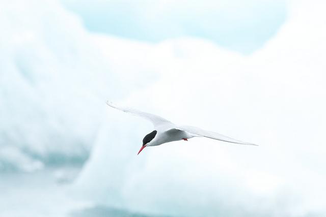 Brian Gratwicke Arctic tern, Flickr Creative Commons