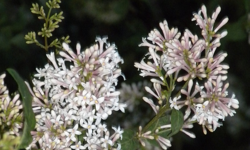 """""""The Family Lilac from Italy"""" by Margaret Rose Realy, Obl. OSB (CatholicMom.com)"""
