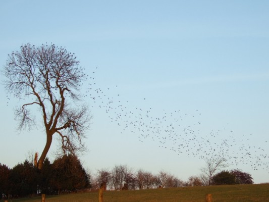 Flock_of_Birds_-_geograph_org_uk_-_296785