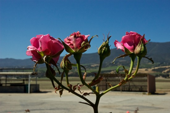 Roses at Mission Soledad