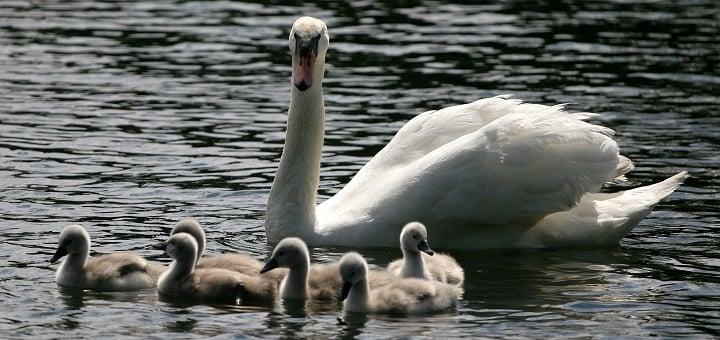 swan_family by hotblack (2012) via Morguefile