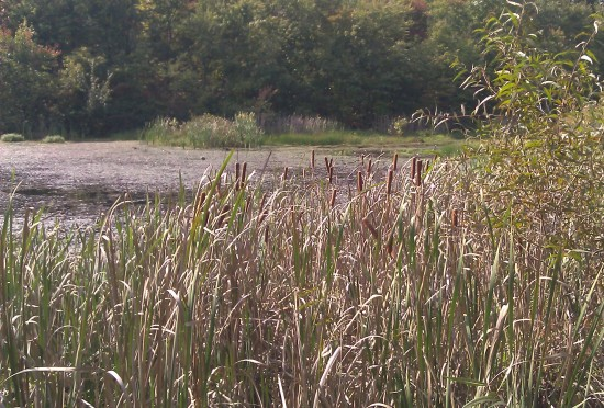 The Cattails