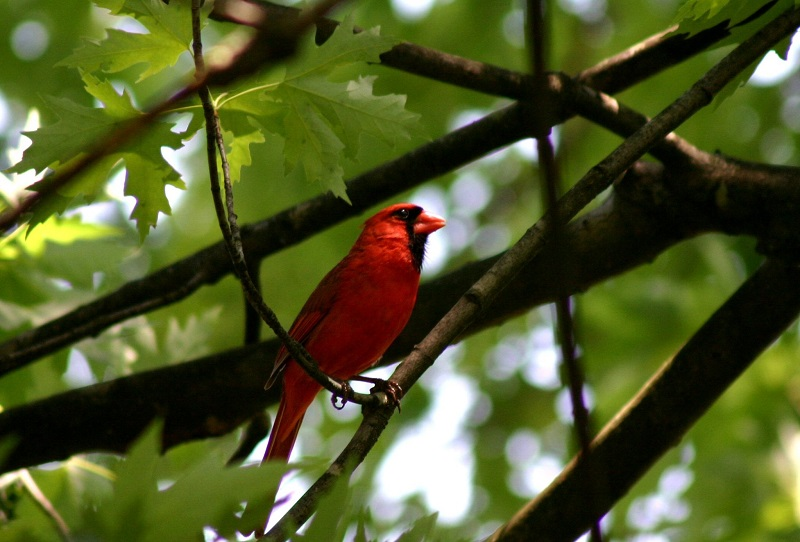 Cardinal, by katmystiry, morguefile.com.