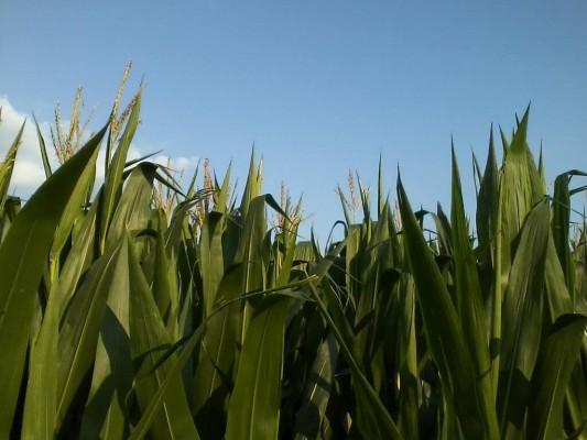 corn tasseled