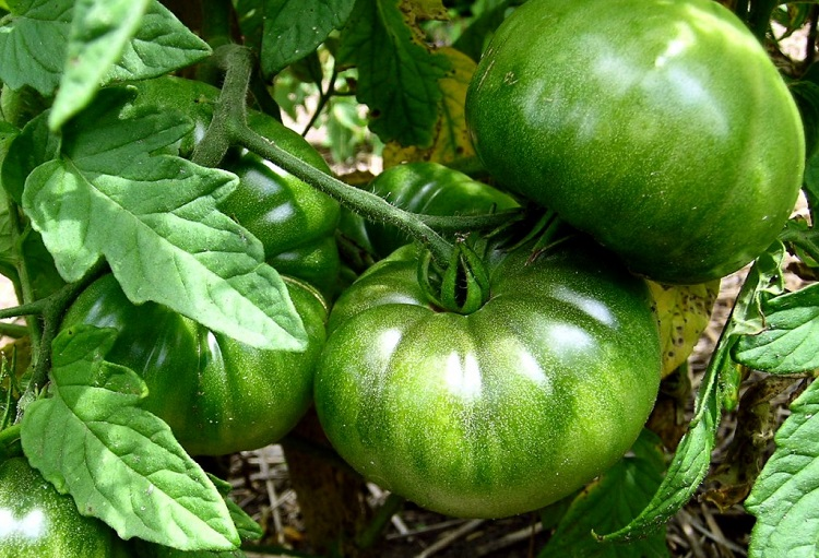 Practical Gardening: Ripening & Storing Green Tomatoes by Margaret Rose Realy, Obl. OSB, for CatholicMom.com