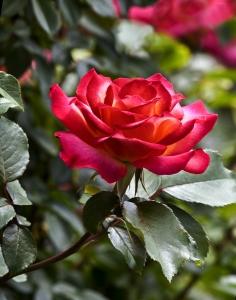rose-1438444-m