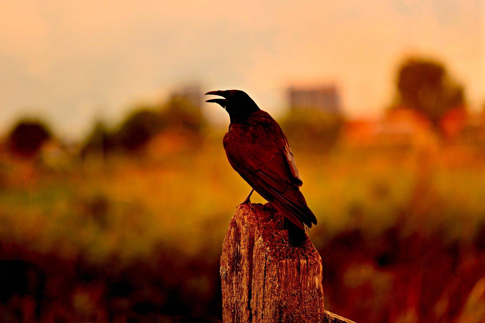 crow-3604685_1920