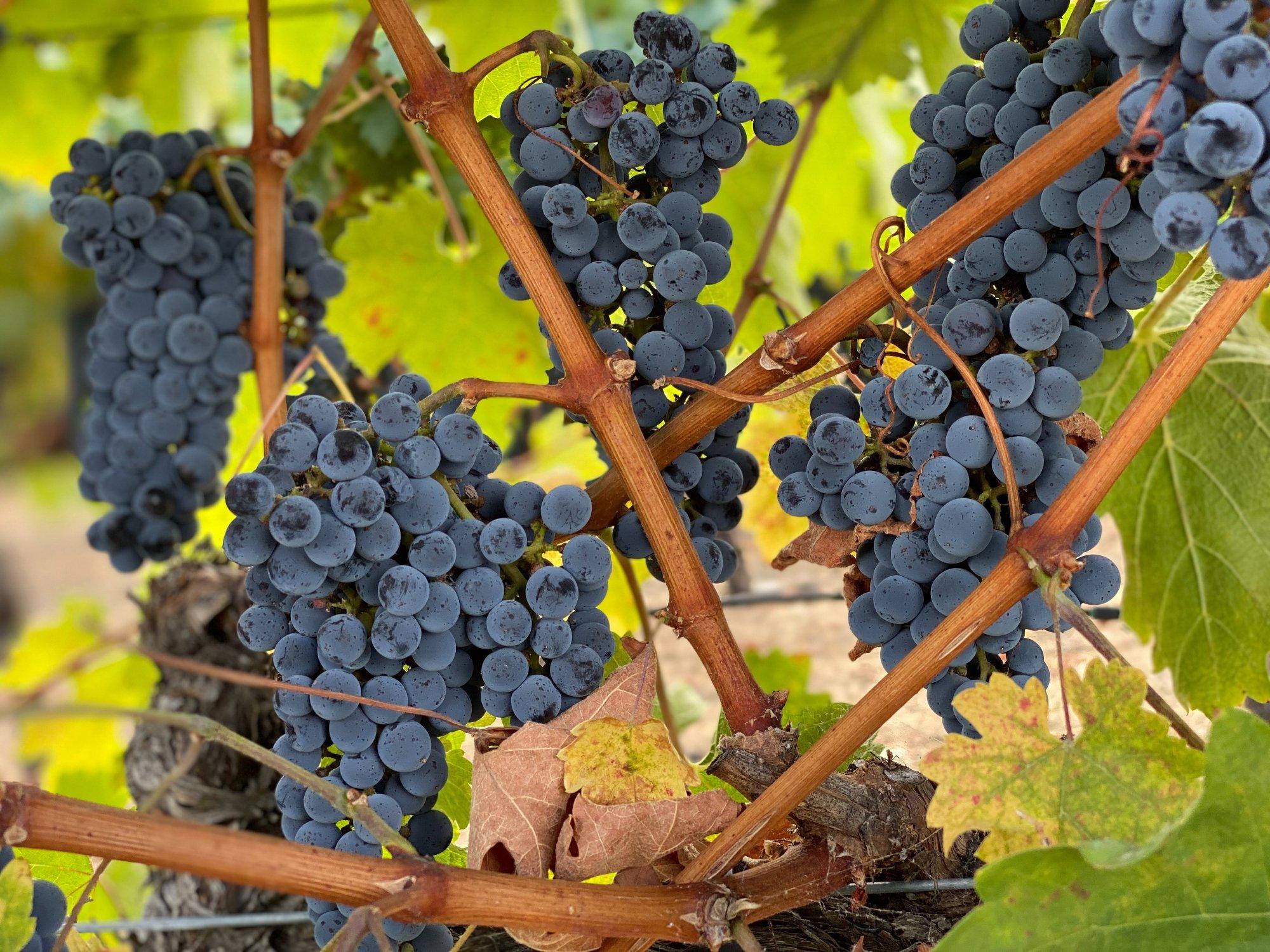 prune the vine-JStamps 0101